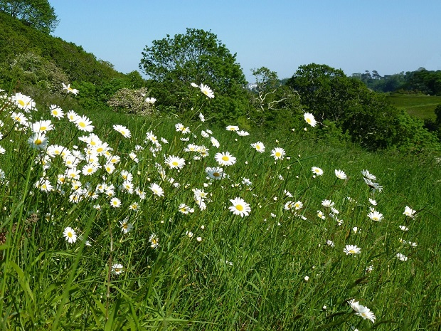 Daisies at Higher Hill by Sandacre Bay