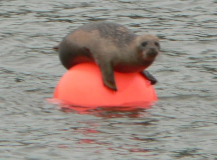 Seal On The Lynher - 20 May 06