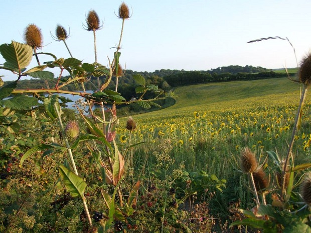 Teasles at Higher Hill overlooking Sand Acre Bay